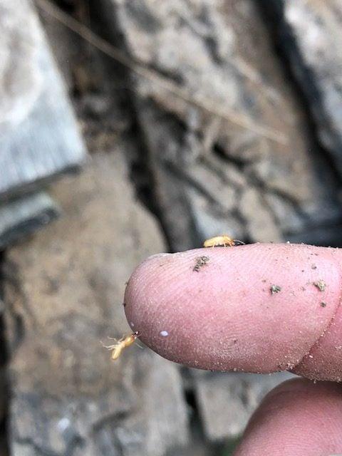 aa spectrum termite control